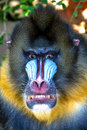 Mandrill portrait of a male Royalty Free Stock Photos