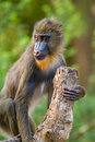 Mandrill portrait of a young Stock Photography