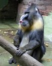 Mandrill primacy monkey guide baboon equator Royalty Free Stock Images