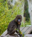 Mandrill sitting on a log Stock Photography