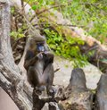 Mandrill sitting on a tree Royalty Free Stock Images