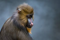 Mandrill VI Royalty Free Stock Photo