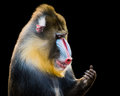 Mandrill XIV Royalty Free Stock Photo