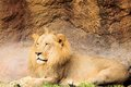 Mane lion lying down ground zoo miami south florida Royalty Free Stock Photos