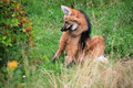 Maned wolf Royaltyfria Bilder