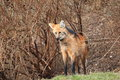 Maned wolf the among the bushes Stock Image