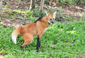 Maned wolf evacuates on grass Royalty Free Stock Images
