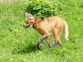 Maned wolf on the grass going in summer day Royalty Free Stock Photography