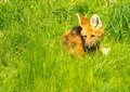 Maned wolf in a green grass Stock Photography