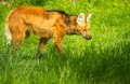 Maned wolf in a green grass Stock Images
