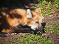 Maned wolf on ground in summer day Stock Image