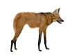 Maned wolf isolated white background Royalty Free Stock Images