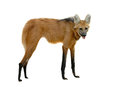 Maned wolf isolated white background Royalty Free Stock Photo