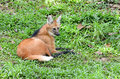 Maned wolf lay down on grass Royalty Free Stock Photography