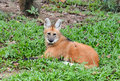 Maned wolf lay down on grass Royalty Free Stock Photo