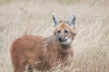 Maned wolf a in long grass pictured in captivity Royalty Free Stock Photography
