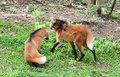 Maned wolf stand on grass Royalty Free Stock Photography
