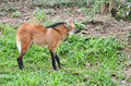 Maned wolf stand on grass Stock Images