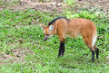 Maned wolf stand on grass Royalty Free Stock Photo