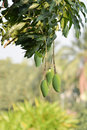 Mango bunch organic fruit in thailand Stock Image
