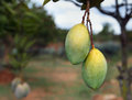 Mango bunch of on the tree Stock Photos