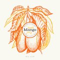 Mango design template. Hand drawn vector tropic fruit illustration. Engraved style fruit. Vintage exotic food banner Royalty Free Stock Photo