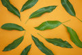 Mango leaves on colorful paper background,concept summer backgro