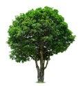 Mango Tree Royalty Free Stock Image