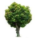 Mango Tree Stock Image