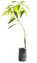 Mango tree in pots Royalty Free Stock Photo