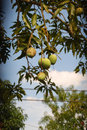 Mango tree with ripening fruits Stock Photos