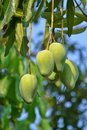 Mango On Tree Of Thailand Stock Image