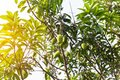 Mangoes on the tree,Fresh fruits hanging from branches,Bunch of green and ripe mango Royalty Free Stock Photo