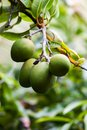 Mangos fresh green on a tree Royalty Free Stock Photo