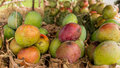 Mangos at a local fruit stand piled in bunches of four street side in tanzania Royalty Free Stock Image