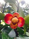 Mangosteen Flower Royalty Free Stock Photo