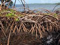 Mangrove close up view roots of tree with the caribbean sea in background bocas del toro panama Royalty Free Stock Images