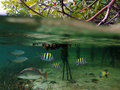 Mangrove fish Stock Images