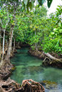 Mangrove Forest With Clear Natural Pool Royalty Free Stock Images