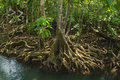 Mangrove forest on the coast of thailand Stock Images
