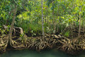 Mangrove forest on the coast of thailand Royalty Free Stock Image