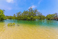 Mangrove forest. Royalty Free Stock Photo