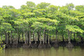 Mangrove Forest of Nakama River Royalty Free Stock Photo