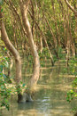 Mangrove forest stock image flooded trees in rain Stock Photo