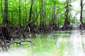 Mangrove Forest and Sun-ray lights Stock Images