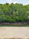 Mangrove forest in thailand with walk way Stock Images