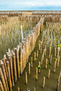 Mangrove forest top view line of bamboo protector in samutsakorn thailand Stock Photo
