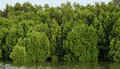 Mangrove forests abundant Royalty Free Stock Photo