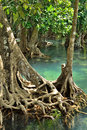Mangrove forests swamp with stream Royalty Free Stock Image