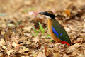 Mangrove Pitta Royalty Free Stock Images